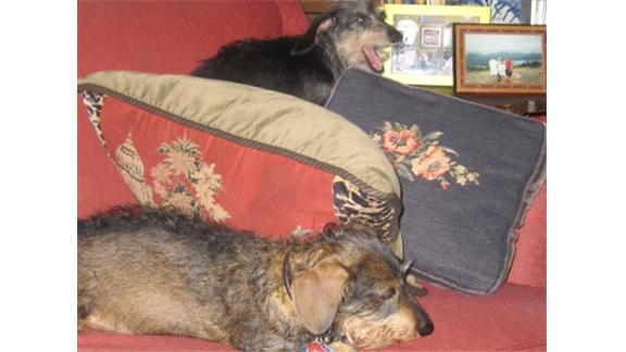 Most Daschunds Placed On A Red Couch