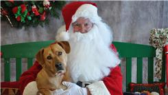 Heaviest Dog Sitting On Santa's Lap