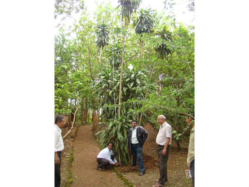 Tallest Drecena Messangena Plant