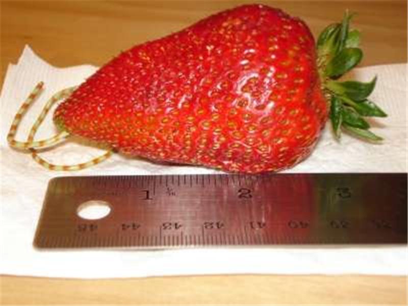 Longest Strawberry
